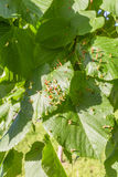 Påverkad lindfräckhet för limefrukt sidor Royaltyfria Bilder
