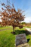 Påvlig ek i botaniska trädgården royaltyfri bild