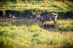 Père David's Deer Stock Photography
