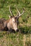 Père David's deer. Close up of sleeping  Père David's deer head Stock Images