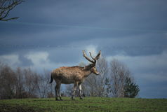Père David`s deer on the hill in the safari park Stock Photography