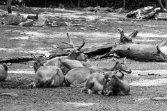 Herd of Père David's deer resting. Père David's deer is the only mammal extinct in the wild by alive in captivity Royalty Free Stock Photo