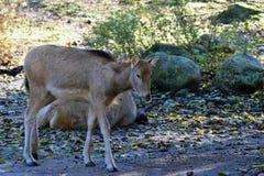 Père David`s deer royalty free stock image