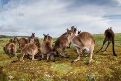 Père de mère de kangourous et portrait de fils Image libre de droits