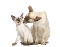 Père oriental de Shorthair léchant son chaton Photo libre de droits