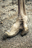 Pé da avestruz Imagem de Stock