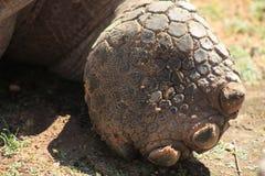 Pé da tartaruga de Galapogas Fotografia de Stock Royalty Free