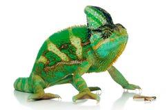 Pé do Chameleon e do grilo imagens de stock royalty free