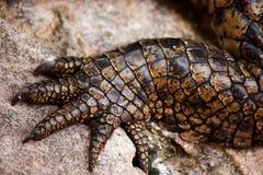 Pé do crocodilo Imagem de Stock Royalty Free