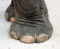 Pé do elefante Imagens de Stock