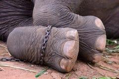 Pé do elefante. Imagem de Stock