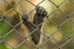 Pé do ` s do macaco Imagem de Stock Royalty Free