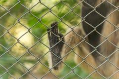 Pé do ` s do macaco Fotografia de Stock Royalty Free