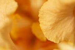 Pédale orange d'iris au printemps Photo libre de droits