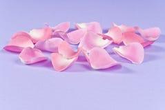 Pédales roses de Rose Photographie stock libre de droits