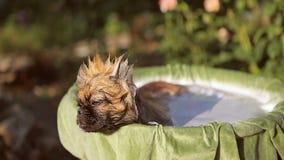 Pékinois de race de chien prenant un bain banque de vidéos
