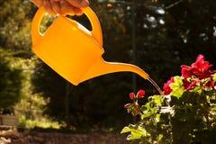 Pélargonium de arrosage avec de l'eau petit distribuant avec précision le wat image libre de droits