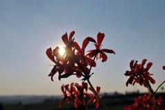 Pélargonium rose dans le coucher du soleil de soirée photographie stock libre de droits