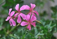 Pélargonium s'arrêtant coloré par rose - pe de pélargonium Photo stock