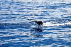 Pélerin de Marlin, l'océan pacifique, Costa Rica Images libres de droits