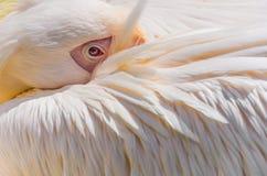 Pélican photographie stock libre de droits