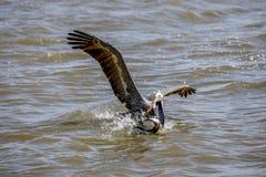 Pélican après cormoran avec des poissons Image stock