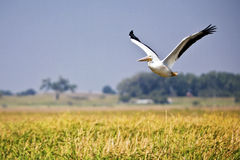 Pélican au-dessus de marais Image stock