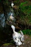 Pélican au zoo de Moscou Photographie stock libre de droits
