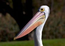 Pélican australien Photo libre de droits