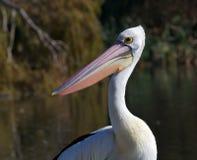 Pélican australien Photographie stock