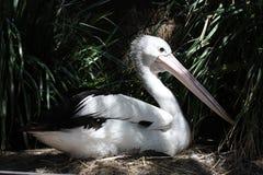 Pélican australien Photographie stock libre de droits