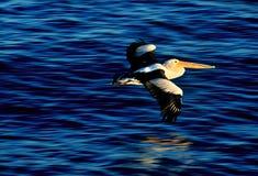 Pélican australien volant au-dessus de l'eau dans la lumière de coucher du soleil Images libres de droits