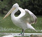Pélican avec les ailes ouvertes Images stock