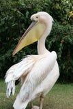 Pélican blanc Photos libres de droits
