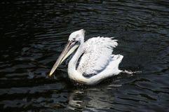 Pélican blanc Image libre de droits