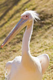 Pélican blanc Image stock