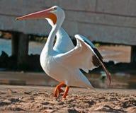 Pélican blanc photographie stock libre de droits