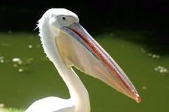 Pélican blanc Photo libre de droits