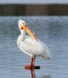 Pélican blanc américain Photographie stock