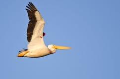 Pélican blanc américain montrant son vol d'étiquette de bande dans un ciel bleu Images libres de droits