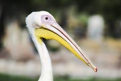 Pélican blanc au Bahrain Photo libre de droits