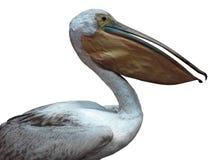 Pélican blanc d'isolement au-dessus du fond blanc Photographie stock libre de droits