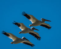 Pélican blanc dans la formation de vol Images stock