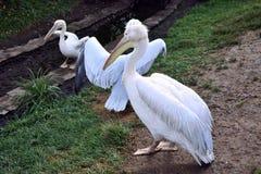 Pélican blanc dans un zoo Image libre de droits