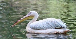 Pélican blanc de flottement Photographie stock