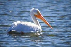 Pélican blanc de l'Amérique Photographie stock libre de droits