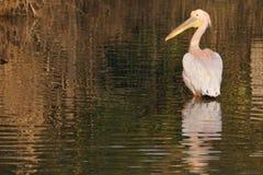 Pélican blanc grand marchant en eau peu profonde Photographie stock libre de droits