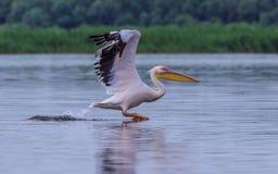 Pélican blanc grand, onocrotalus de Pelecanus image stock