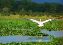 Pélican blanc grand volant Images libres de droits