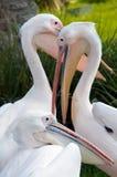 Pélican blanc (onocrotalus de Pelecanus) Image stock
